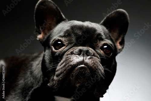 Keuken foto achterwand Franse bulldog Portrait of an adorable French Bulldog looking curiously at the camera