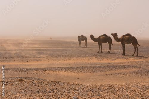 Spoed Foto op Canvas Three camels walk through the Erg Chebbi desert through a sandstorm, Morocco