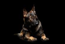 Studio Shot Of An Adorable German Shepherd Dog Seems Frightened