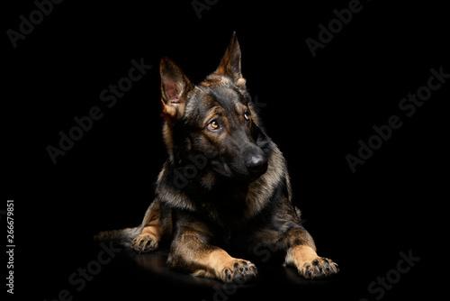Fototapeta Studio shot of an adorable German Shepherd dog seems frightened
