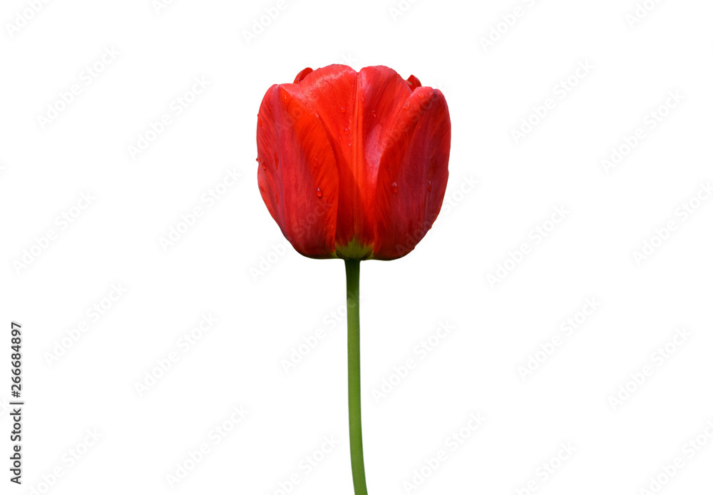 Fototapety, obrazy: Red tulip flower isolated on white background. Tulip flower head isolated on white. Spring flowers