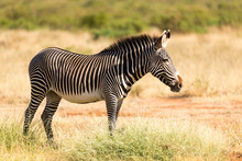 A Grevy Zebra Is Grazing In Th...