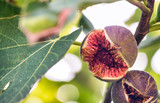 Fully open cracked ripe fig attached to fig tree - 266686220