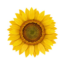 Sunflower Realistic Isolated Illustration