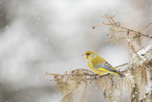 Greenfinch, Chloris Chloris