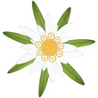 edelweiss flower symbol