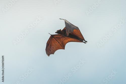 fototapeta na drzwi i meble Bats flying on sky (Lyle's flying fox)