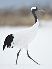 The red-crowned crane. Scie...