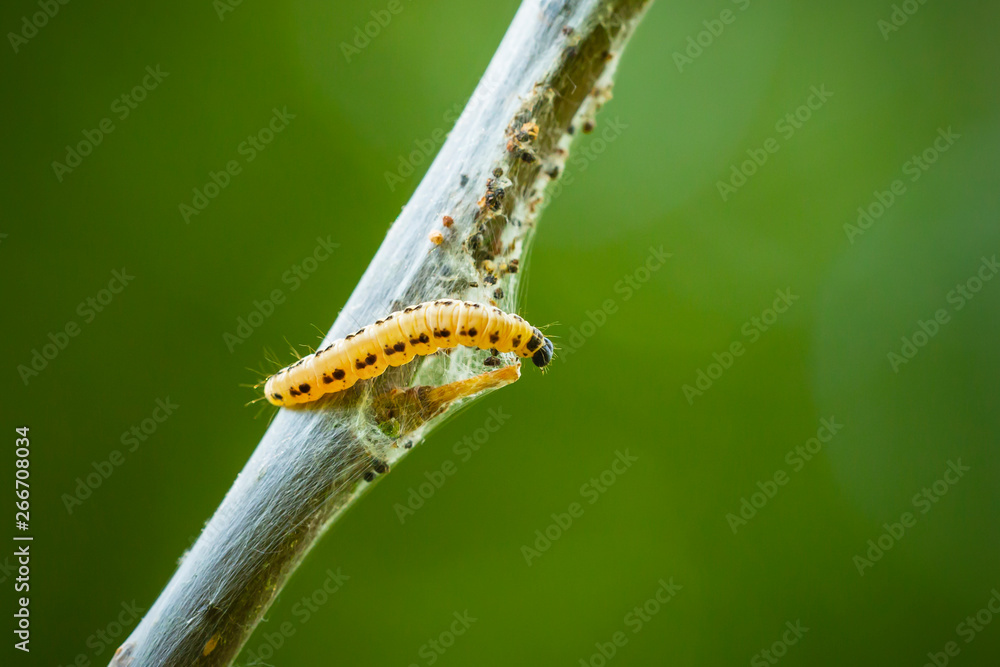 Fotografie, Obraz Closeup of a pest larvae caterpillars of the Yponomeutidae family or ermine moths, formed communal webs around a tree