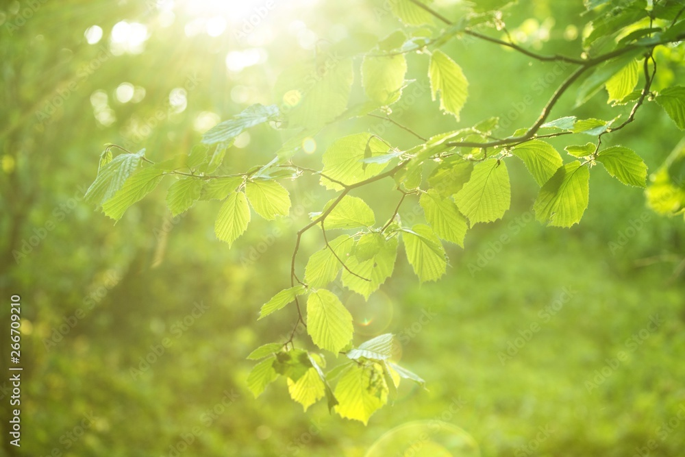 Fototapeta Wiosnenne gałązki leszczyny ze świeżymi zielonymi listkami w rozbłyskiem słońca i promieniami
