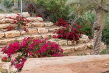 Bougainville Flowers In Israel...