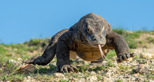 Komodo Dragon  With The  Forke...