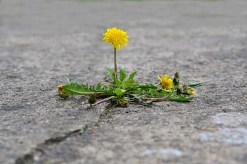 single dandelion flower breaks its way through the concrete, concept power of nature, copy space