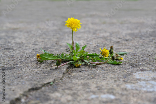 single dandelion flower breaks its way through the concrete, concept power of nature, copy space