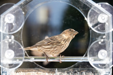One Female Brown House Finch Bird Sitting Perched On Plastic Glass Window Feeder Looking Up In Virginia Eating Sunflower Seeds