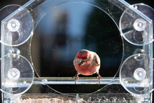 Closeup Front Of One Male Red House Finch Bird Sitting Perched On Plastic Glass Window Feeder In Virginia Eating Sunflower Seeds