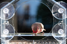 Closeup Of One Male Red House Finch Bird Perched On Plastic Glass Window Feeder In Virginia Eating Sunflower Seeds