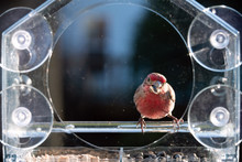 Front Of One Male Red House Finch Bird Perched On Plastic Glass Window Feeder In Virginia Eating Sunflower Seeds