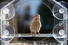 One Female House Finch Bird Perched On Plastic Glass Window Feeder Looking Up In Virginia Eating Sunflower Seeds
