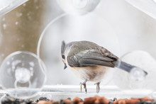 One Tufted Titmouse Perched On Window Bird Feeder Perch With Sunflower Seeds Peanuts Nut, Looking Down In Virginia
