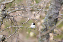 One Black-capped Chickadee Bird Perched On Tree Branch In Sunny Spring In Virgini With Cherry Blossom Flower Buds High Angle View