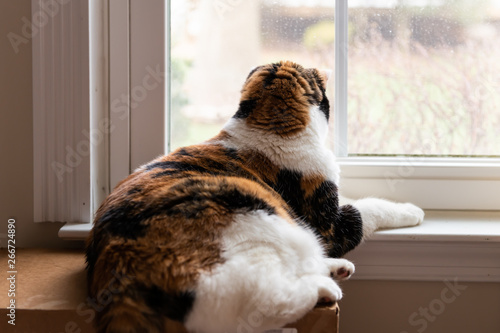 Calico cat lying down by windowsill inside house room looking out through window Tablou Canvas