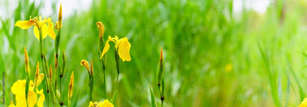 Fototapeta panorama view of Yellow flag iris on green color bokeh background,  pseudacorous  iris, yellow iris