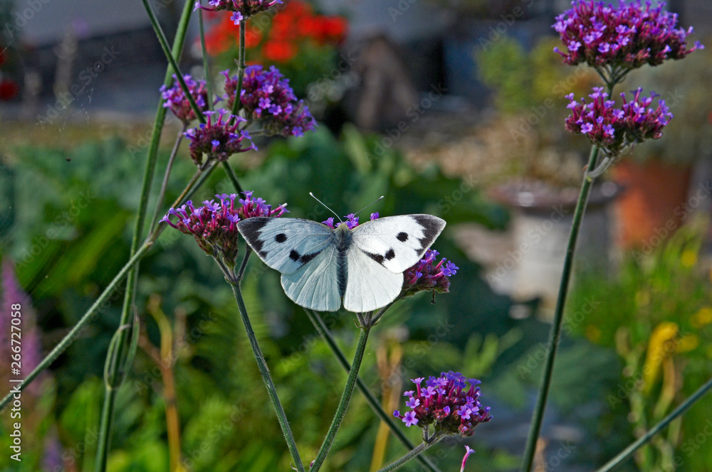 Large White butterfly on a Verbena Bonariensis in close up