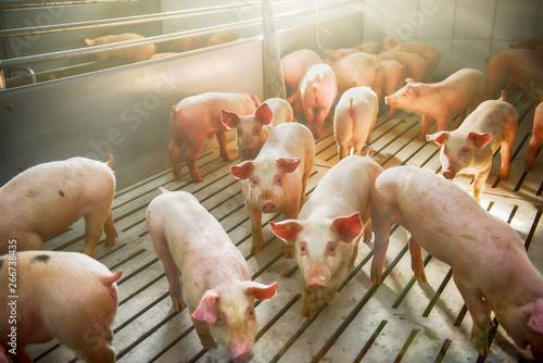 Fotografie, Obraz Pigs on a farm
