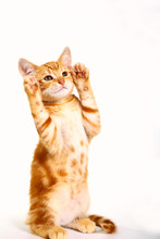 Ginger Mackerel Tabby Kitten Waving His Paws Isolated On A White Background