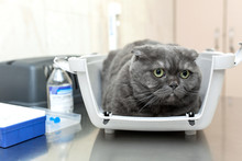 Angry Fluffy Gray Cat Awaits R...