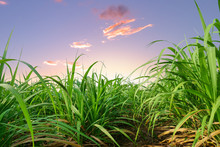 Sugar Cane Leaves At Sunset Or Sunrise Time