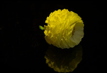 Buttercup Flower Head With Ref...