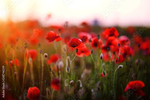 In de dag Poppy Beautiful field of red poppies in the sunset light