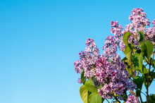 Spring Blossoms Lilac Against ...