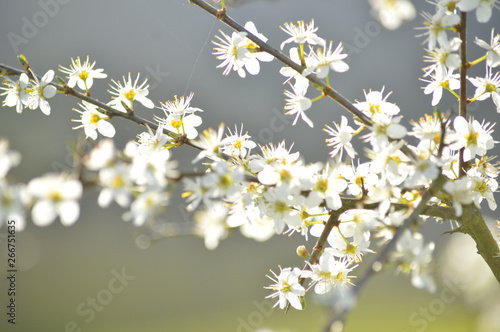 Blossom on a Blackthorn or Sloe Bush in the English Hedgerow Wallpaper Mural