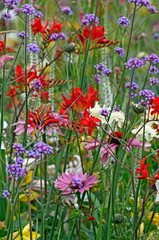 Panel Szklany Ogrody A close up of a colourful flower border with crocosmia, verbena and echinacea