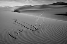 Dry Trees In The Sand Dune Desert