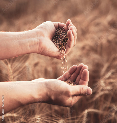 Man pours wheat from hand to hand on the background of wheat field Canvas Print