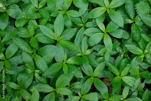 Foto auf Leinwand Grun Green foliage mercurialis perennis, background