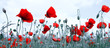 Red poppies isolated on a blurred gray background.
