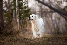 Cute And Happy Dog Breed Golde...