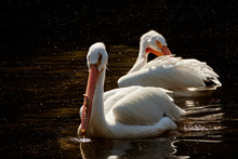 Two American White Pelicans Sw...