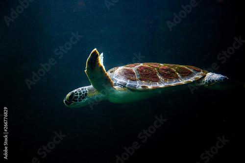 Poster Tortue swimming turtle in dark ocean water sea