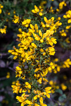 Yellow Gorse Flowers In Springtime