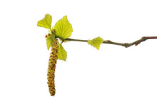 Silver Birch Leaves And Catkin