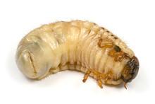 Larva Of A Rhinoceros Beetle