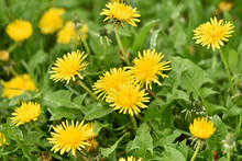 Green Field With Yellow Dandelions. Wild Flowers Closeup.