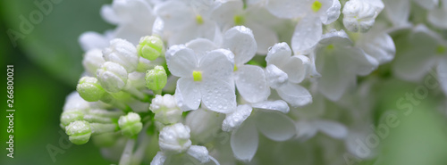 Foto auf Leinwand Flieder Fresh blossomed white lilac with green leaves.