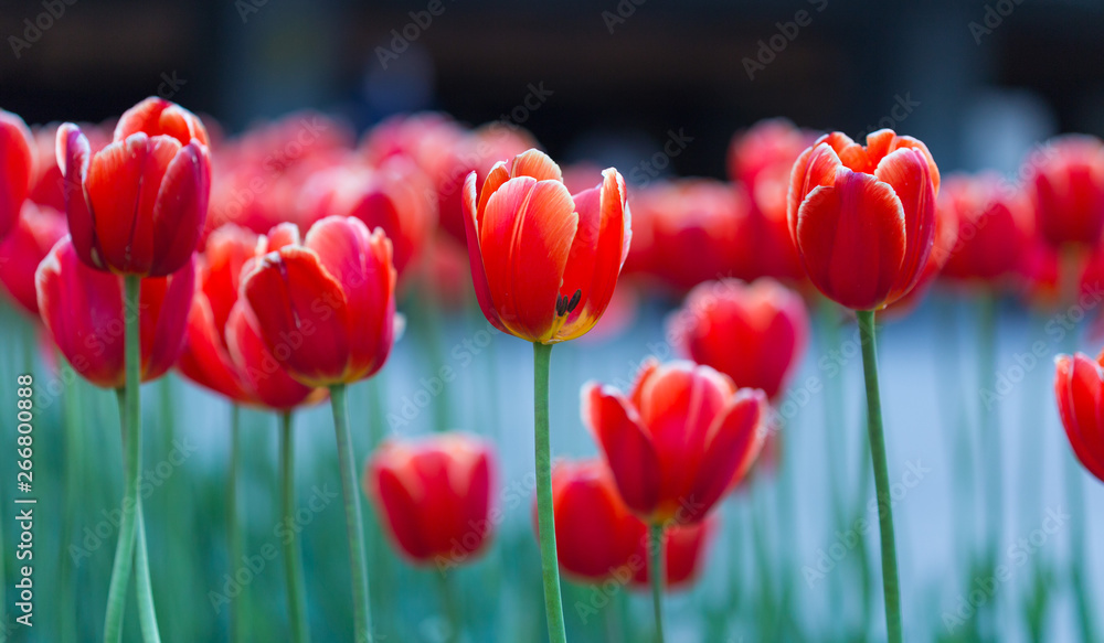 Fototapety, obrazy: Group of red tulips in the park. Spring landscape